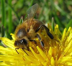 honeybee-flower